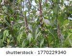leonurus cardiaca plant. mother ... | Shutterstock . vector #1770229340
