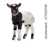 Newborn Goat Stands. Animal...