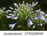 Agapanthus Is An Amaryllidaceae ...