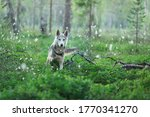 Siberian Husky Playing In The...