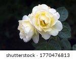Two Beautiful Tea Rose Flowers...