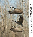 Trio Of Flying Canadian Geese