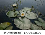 Top View Of Water Lilies With...