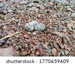 Beautiful Killdeer eggs on  farm