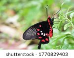 Common Rose Butterfly On The...