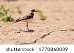 Killdeer bird in the sand