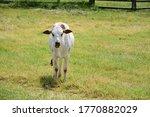 A Young Zebu Calf Stands Alone...