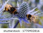 Blue Eryngium Is Top Summer Bee ...