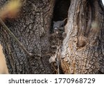 A Gray Squirrel Peeks Out From...