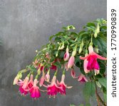 Blooming Hardy Fuchsia Flower   ...