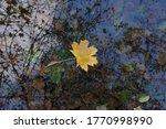 Autumn Maple Leaf In Dark Water ...