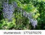 Shooting wisteria flowers in full bloom on a sunny day at telephoto,itoigawa city,Niigata Prefecture,japan