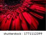 Amazing Red Gerbera. Macro View