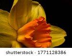 Yellow Daffodil  Narcissus...