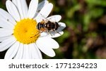 Camomile Close Up With An Insect