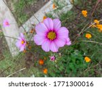 Small photo of Garden Cosmos Flower invite a riotous explosion of color into the garden