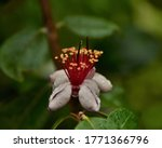 White Small Flower With Red...