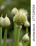 Small photo of Shalot - Allium cepa var. aggregatum