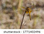 The Yellow Winged Darter ...