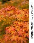Small photo of Japanese maple - Acer palmatum