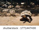 Giant Tortoises Dipsochelys...