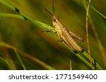 Macro Photo. Grasshopper In...