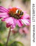 A Pink Echinacea  Coneflower ...