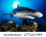 Huge White Shark In Blue Ocean...