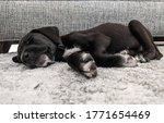 Sleeping Black Puppy On A Gray...