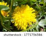 Blooming Yellow Dandelion...