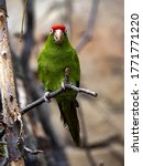 Small photo of The Cordilleran parakeet, Psittacara frontatus, is a hardy parrot with a large red cockade on its head