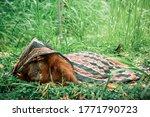 Orangutan Sleeps In A Blanket