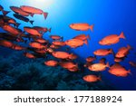 Shoal of red bigeye perches in the tropical reef of the red sea  - stock photo