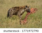 Spotted hyena stands in grass gnawing bones - stock photo