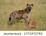 Spotted hyena stands in grass with bones - stock photo