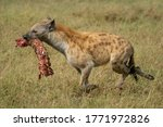 Spotted hyena crosses savannah carrying bloody bones - stock photo