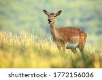 Small photo of Fallow deer doe, dama dama, standing on field during the summer. Animal female ruminate feeding on wheat with blurred background . Wild mammal eating grain on farmland.
