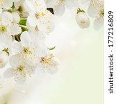 Blossoming Plum   Flowers ...