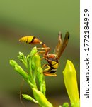 Macro Picture Of A Wasp On...