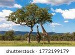 Two Giraffes Under A Tree In...