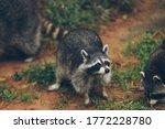 A grayish brown american mammal ...