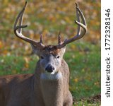 White Tail Buck Resting During...
