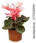 Blooming Cyclamen In Pot....