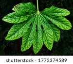 The Leaf Of A Fatsia Japonica...