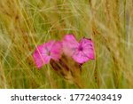 Two Centered Red Flowerheads I...