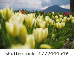 An Array Of Tulips In One Of...