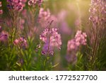 Delightful Fireweed Blossoms ...