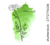 vector drawing chamomile  daisy ... | Shutterstock .eps vector #1772776106