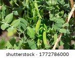 Green Bean Pods And Beanstalks...