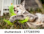 Stock photo tabby cat outside holding and licking a generic cat toy 177285590